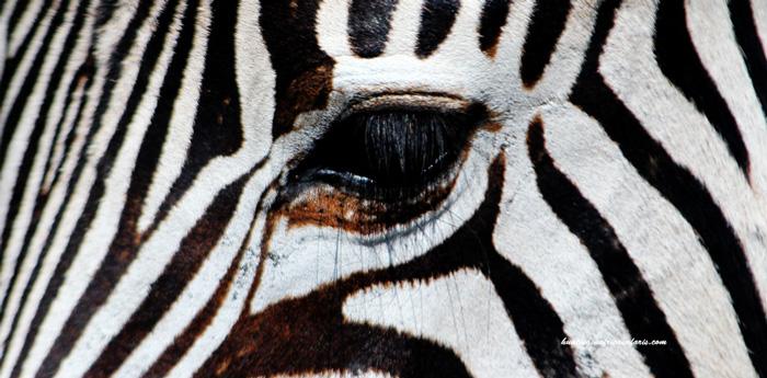 Hunting zebra Africa