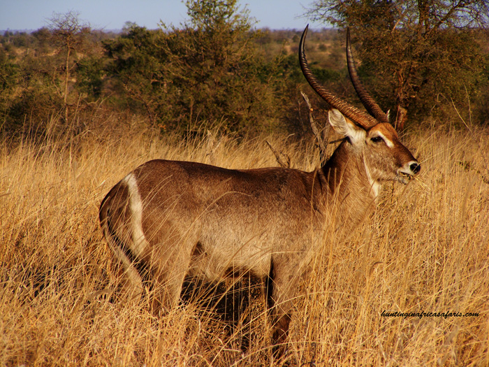 Waterbuck hunting Africa