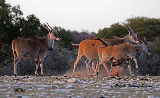 Eland hunting prices