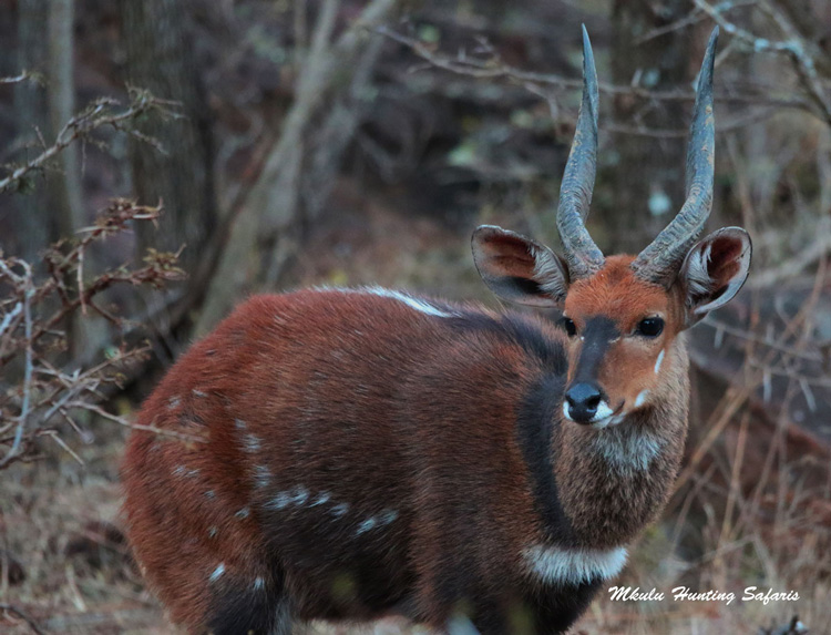 Hunting bushbuck in Limpopo South Africa
