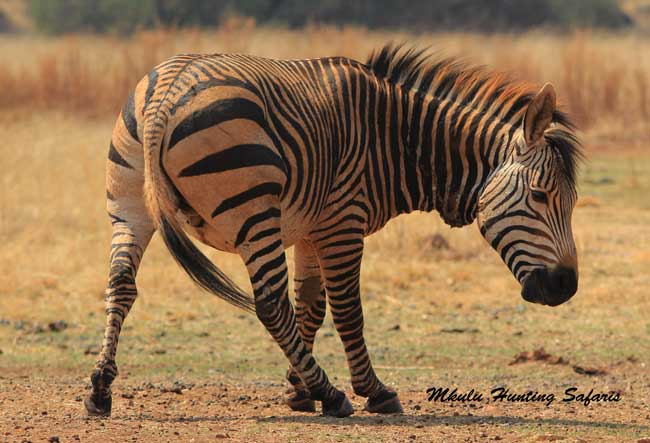 30-06 for mountain zebra hunting South Africa