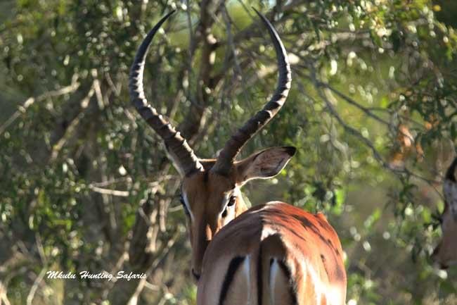 308 for hunting impala