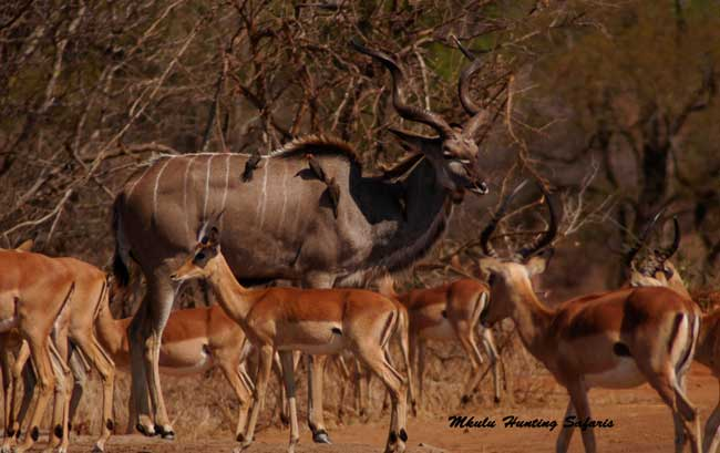 Best ammunition for hunting kudu in South Africa