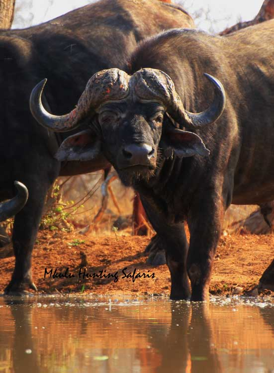 Bow hunting Cape buffalo South Africa from a blind