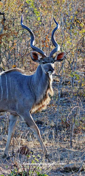 Bow hunting kudu South Africa prices