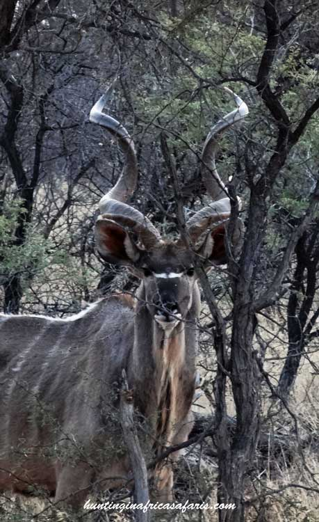 Bow hunting kudu South Africa shot placement