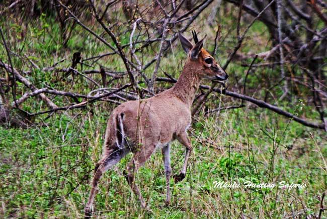 Duiker hunting caliber South Africa