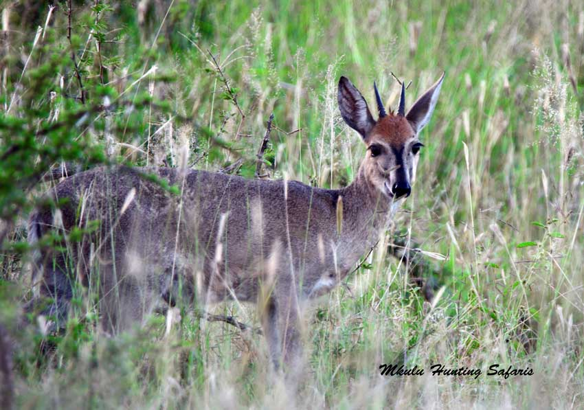 Hunting caracal South Africa