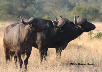 Cape buffalo cow hunt South Africa