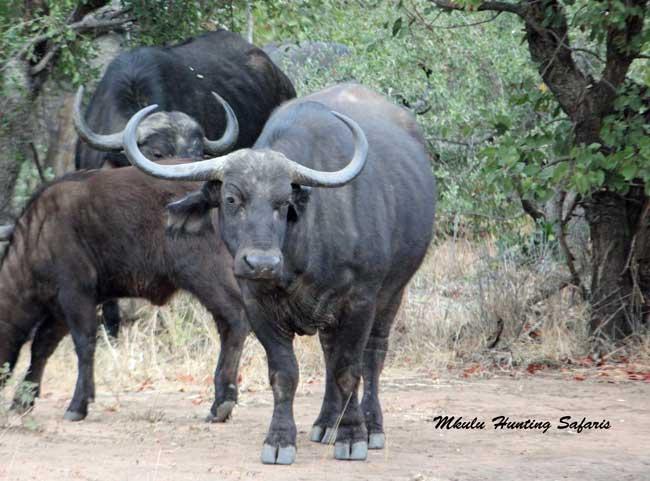 Hunting Cape buffalo cow average shot distance