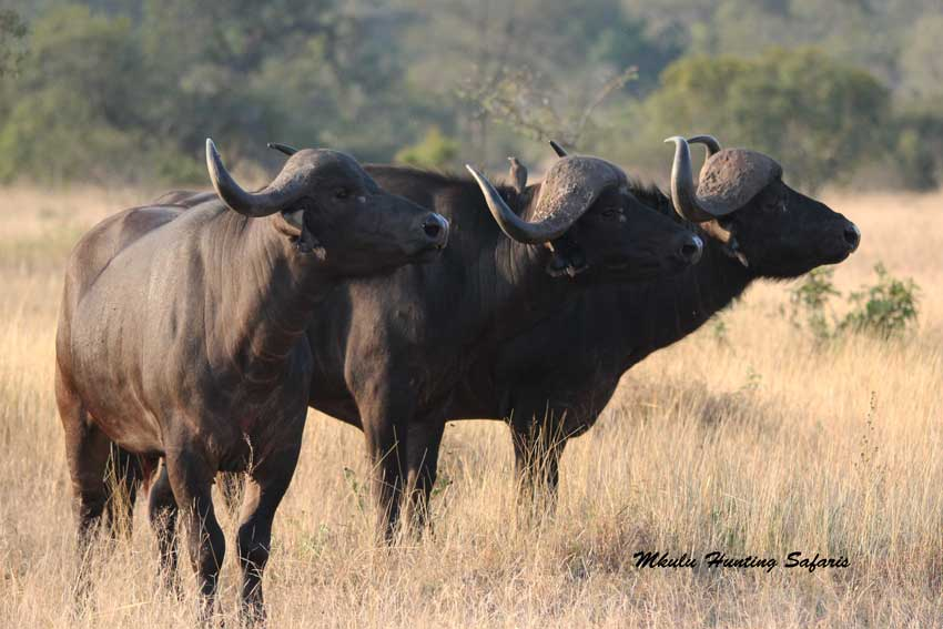 Hunting Cape buffalo cow