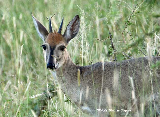 Hunting duiker in South Africa
