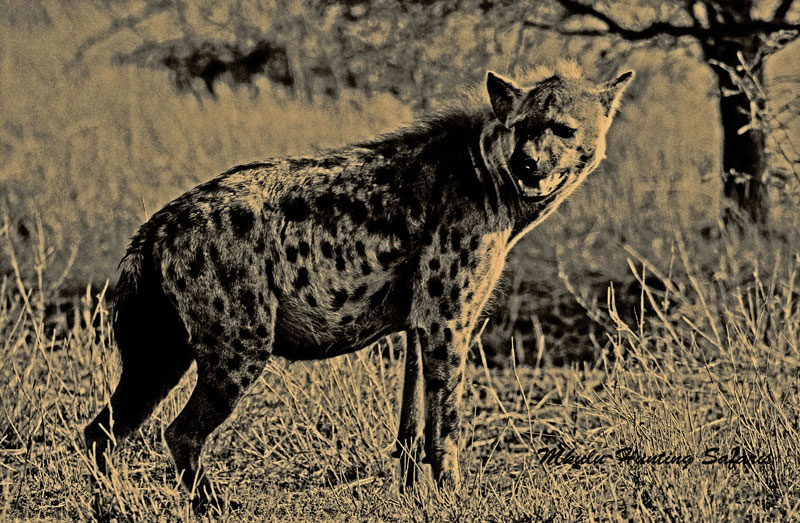 Hunting hyenas in Africa