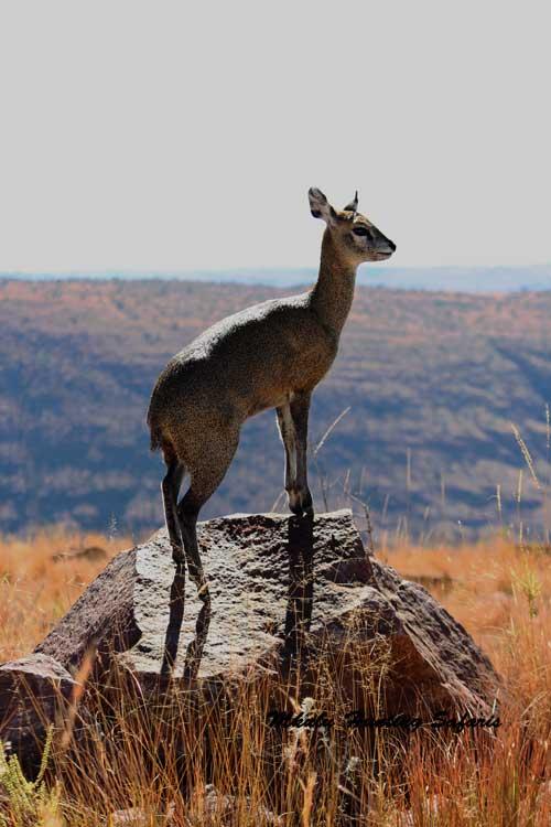 Hunting klipspringer South Africa caliber