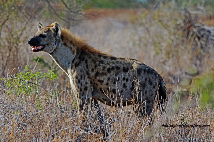 Hunting spotted hyena