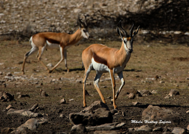 Hunting springbok in South Africa shot distance
