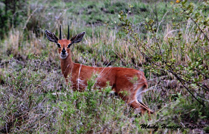 Hunting steenbok South Africa