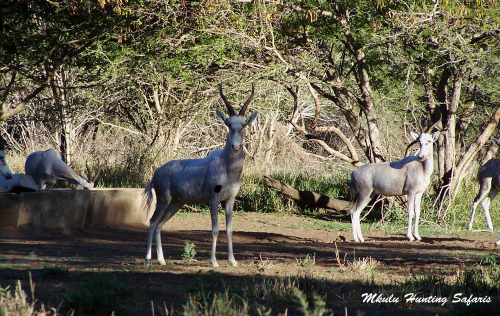 Hunting white blesbok shot placement