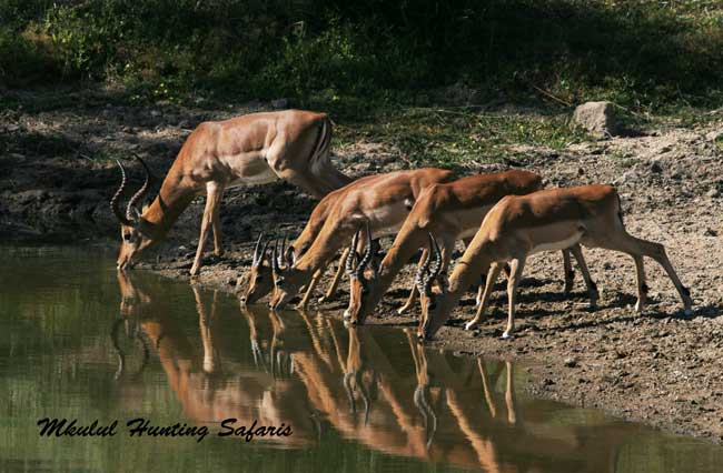 Impala hunting prices South Africa