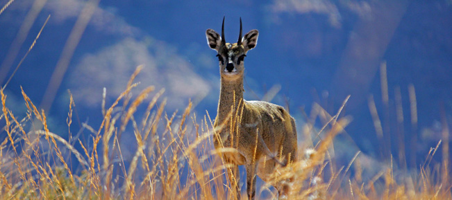 Klipspringer hunting caliber