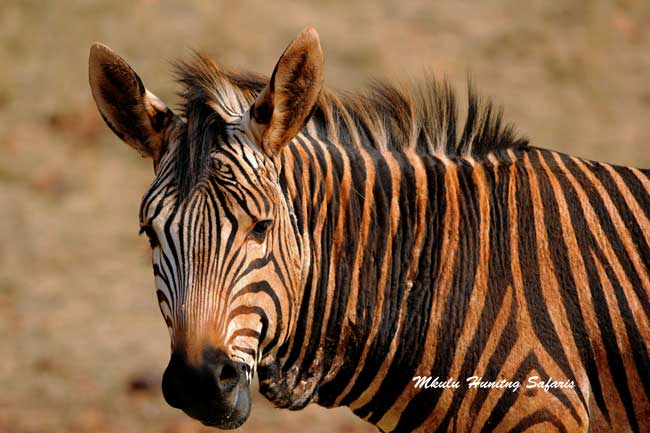 Mountain zebra hunting prices South Africa