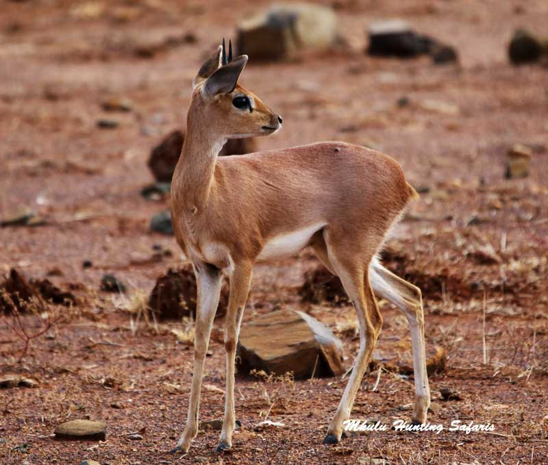 Steenbok hunting prices