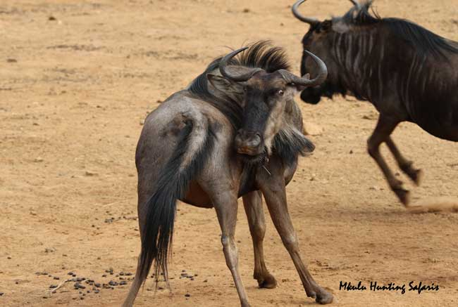 Bow hunting blue wildebeest draw weight