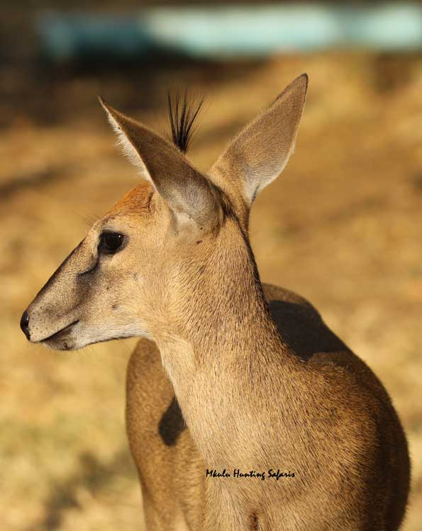 Bow hunting duiker arrow information