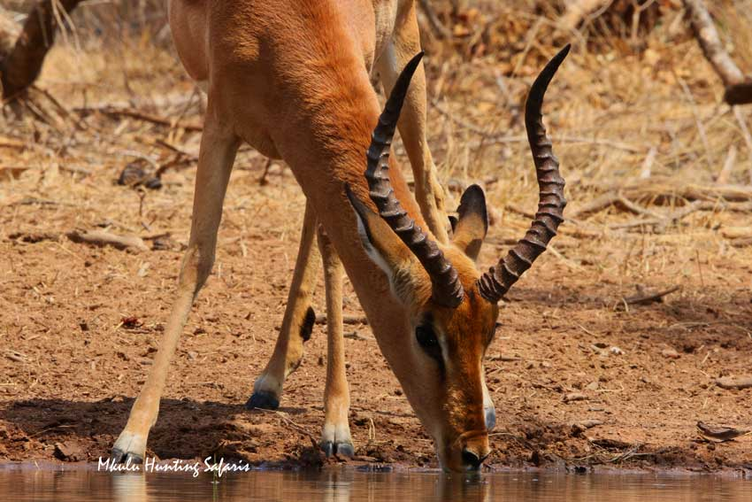 Bow hunting impala South Africa