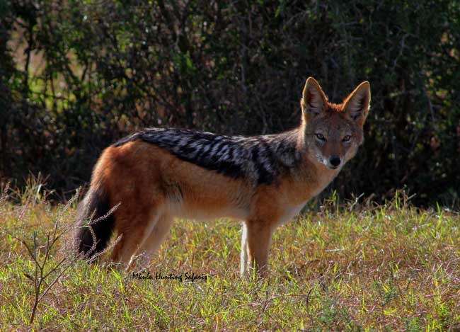 Bow hunting jackal South Africa