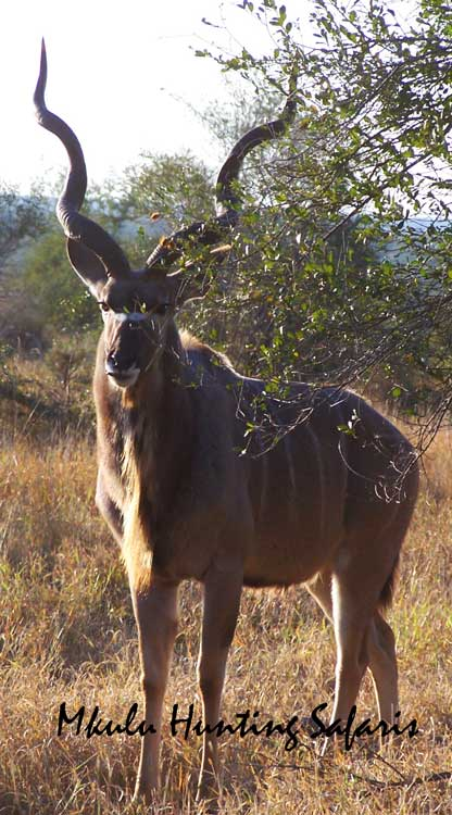 Bow hunting kudu draw weight