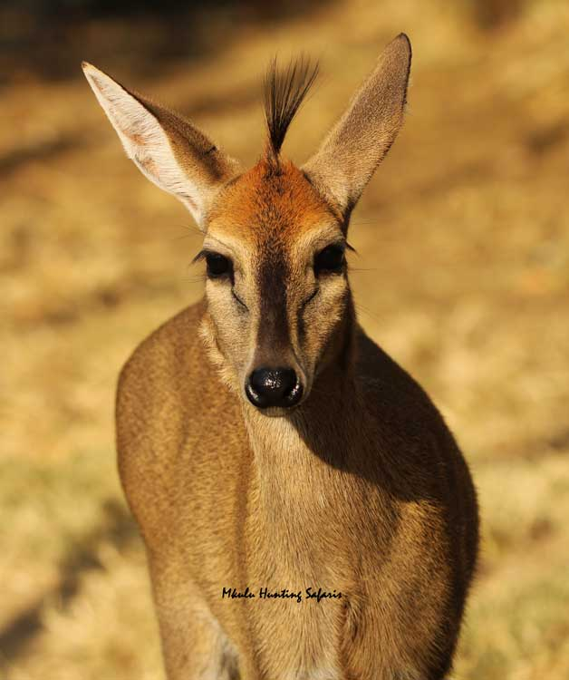 Draw weight bow hunting duiker