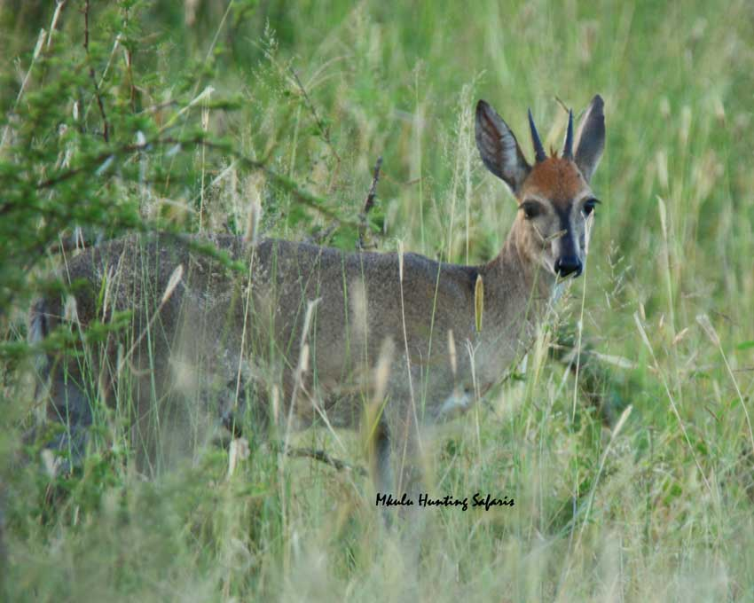 Duiker bow hunting South Africa