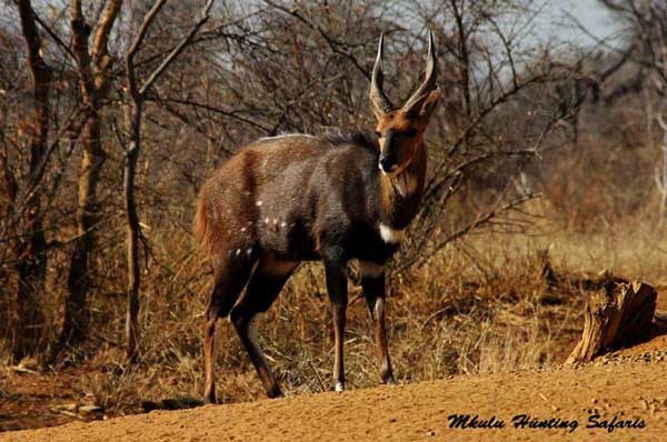 Spiral horn bow hunt bushbuck