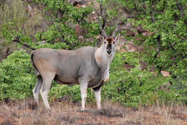 Spiral horn bow hunt eland
